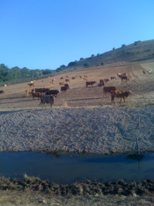 Cattle in Galilee meadow