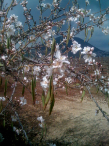 Kfar Tavor Almond Blossom